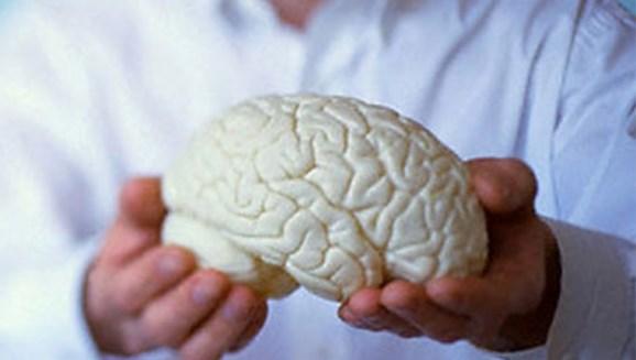 Макет в виде мозга человека
